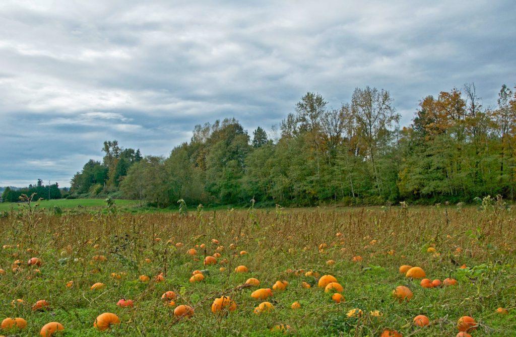 hazelmere-pumpkin-patch