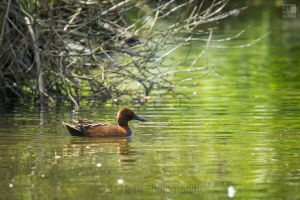 Cinnamon%20Teal%20Duck%20by%2021%20Mpix%20Photography%20-8369.jpg