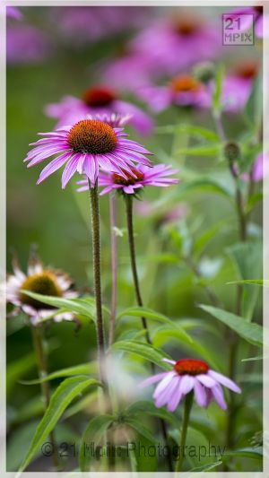 Cone%20Flower-Echinacea%20%20by%2021%20Mpix%20Photography-2060.jpg