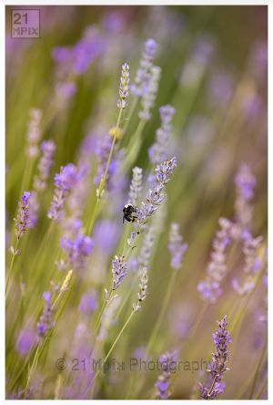 Lavender%20and%20Bumble%20Bee%20by%2021%20Mpix%20Photography-2079.jpg
